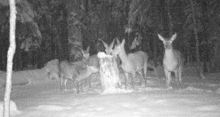 Prihrana divljači, Biogradska gora