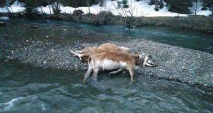 uginule krave u Ćehotini