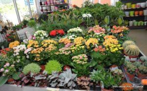 dnevna cvijeće