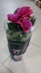 ruža u saksiji