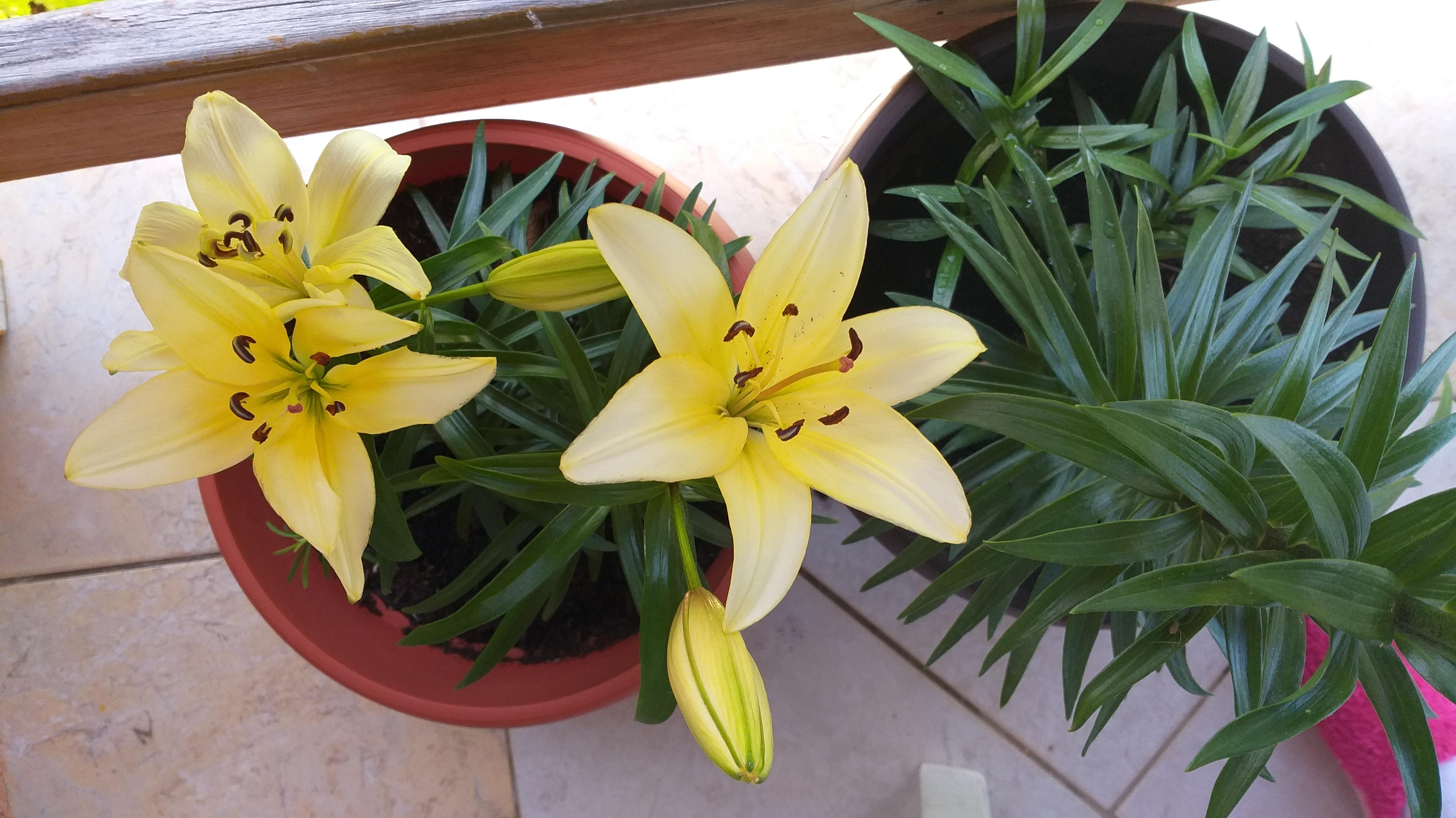Ljiljani, cvijeće