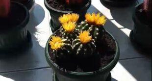 Kaktusi na prozoru Biblioteke