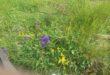 Bobovo livadsko cvijeće